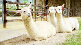 อัลปาก้า เขาว่าน่ารัก เที่ยวอัลปาก้า ฮิลล์ Alpaca Hill สวนผึ้ง ฟาร์มอัลปาก้าแห่งแรกในประเทศไทย