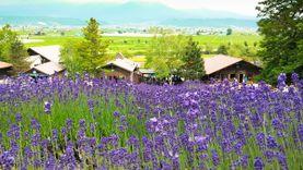 เที่ยวญี่ปุ่น สุดชิลล์ชมทุ่งลาเวนเดอร์ ฟาร์มโทะมิตะ Farm Tomita ที่ฟุระโนะ ฮอกไกโด