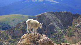 แพะภูเขา Mountain Goat สุดยอดนักไต่เขา ที่เห็นแล้วต้องอึ้ง ทึ่ง เสียว