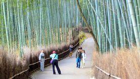 เที่ยวญี่ปุ่น ป่าไผ่ซากาโนะ  Sagano bamboo forest เกียวโต เสน่ห์โลกตะวันออก