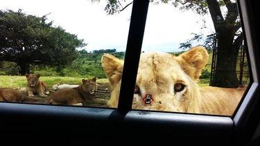 เกือบได้หม่ำ เที่ยวซาฟารีอย่าประมาท เดี๋ยวนี้สิงโตเปิดประตูรถเป็นแล้ว (มีคลิป)
