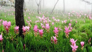 หยิบหมอก หยอกดอกกระเจียว เทศกาลท่องเที่ยวดอกกระเจียวบาน 2558 อุทยานแห่งชาติป่าหินงาม
