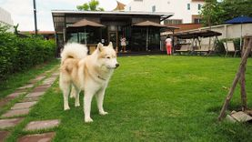 Inu Machi Café คาเฟ่สุนัขสุดมุ้งมิ้ง ชิมเมนูอร่อยกับน้องหมาชิบะ น้องหมาไซบีเรียน ฮัสกี้ ราชพฤกษ์