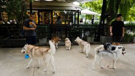 บรรยากาศร้าน TrueLove Cafe คาเฟ่สุนัขไซบีเรียน ที่อารีย์