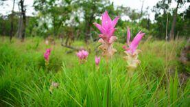 ชมทุ่งดอกกระเจียววันฝนพรำ เที่ยวอุทยานแห่งชาติไทรทอง ชัยภูมิ