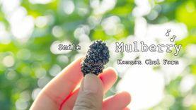 เที่ยวไร่กำนันจุล สวนเกษตรแบบผสมผสาน กินมัลเบอร์รี่แบบไม่อั้นในงาน Mulberry Fest' 2015