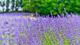 รวมเทศกาลชมดอกไม้ เกาะคิวชู สีสันตระการตาแห่งประเทศญี่ปุ่น