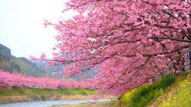 เที่ยวญี่ปุ่น อย่าเกรียน ชมซากุระให้ถูกกฎ