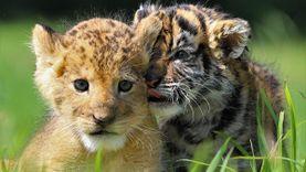 น่ารักเกิ๊น! คู่ซี้คู่ใหม่ สองสิงห์แห่ง สวนสัตว์ โออิตะ ที่กำลังครองใจชาวเน็ตญี่ปุ่น