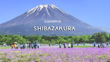 รวมงานเทศกาลทุ่งดอก Shibazakura หรือ Moss Pink สีชมพูบานสะพรั่ง ทั่วญี่ปุ่น
