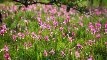 งานเทศกาลดอกกระเจียวบาน จังหวัดชัยภูมิ ประจำปี 2560