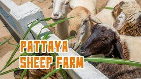 Pattaya Sheep Farm ฟาร์มแกะพัทยา สนุกสุดชิลล์ เที่ยวได้ทั้งวัน