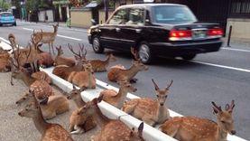 ก็ลมมันเย็น ฝูงกวางในนารา ญี่ปุ่น ยึดถนนจนแน่นขนัด มนุษย์ได้แต่เกรงใจ