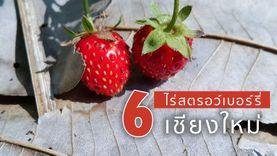 6 ไร่สตรอว์เบอร์รี่ เชียงใหม่ เที่ยวไปชิมไป ฟินเว่อร์!