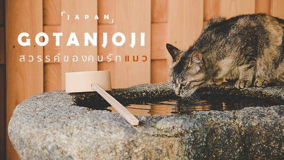 วัด Gotanjoji ที่ฟุคุอิ ญี่ปุ่น สรวงสวรรค์ของคนรักแมว