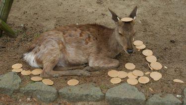 เลิกยัดซะที! กวางนารา ทิ้งเซมเบ้เกลื่อนถนน หลังนักท่องเที่ยวแห่ให้อาหารจนแน่นพุง