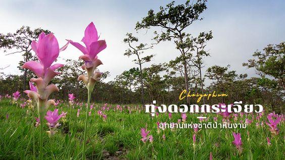 ทุ่งดอกกระเจียว อุทยานแห่งชาติป่าหินงาม บานสะพรั่ง รับหน้าฝน ชุ่มชื่นใจที่ ชัยภูมิ