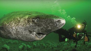 ฉลามกรีนแลนด์อายุเหยียบ 400 ปี ! แก่ที่สุดในโลก แห่งมหาสมุทรอาร์กติก
