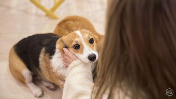 คาเฟ่คอร์กี้ ร้านติดเทรนด์ในเซี่ยงไฮ้ ชาวหมาขาสั้นต้องไปเยือน