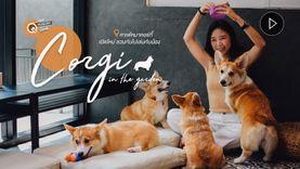 Corgi in the garden คาเฟ่หมา เปิดใหม่ ฉบับคนรักคอร์กี้ ชวนกันไปให้หมารุม (มีคลิป)