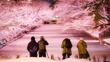 จะรีบไปไหน? ชาวญึ่ปุ่นงง ซากุระบานกลางหน้าหนาว ที่สวนฮิโรซากิ จังหวัดอาโอโมริ