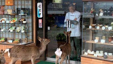 กวางญี่ปุ่น ไถของกินหน้าร้านอาหารกว่า 6 ปี เจ้าของร้านยอมจ่ายกลัวลูกค้าเข้าร้านไม่ได้!