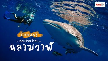 ข้อควรรู้ก่อนว่ายน้ำกับฉลามวาฬ ยักษ์ใหญ่ใจดีแห่งท้องทะเล