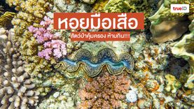หอยมือเสือ ห้ามกิน !!! สัตว์ป่าคุ้มครอง เสี่ยงสูญพันธุ์